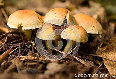 Cogumelos do topete