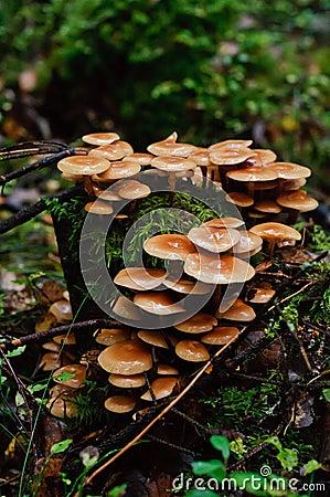 Cogumelos do topete do enxôfre