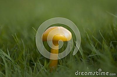 Cogumelos ingleses selvagens da floresta que crescem no outono