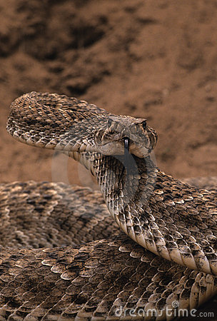 Free Coiled Rattler Royalty Free Stock Images - 9277529