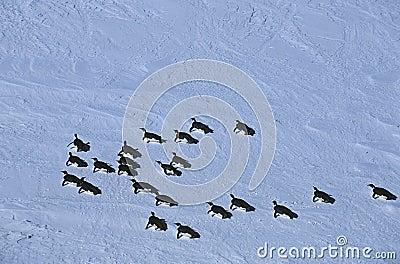 Colônia da prateleira de gelo de Riiser Larsen do mar da Antártica Weddell do pinguim de imperador