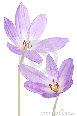 Free Colchicum Flowers Royalty Free Stock Image - 28581596