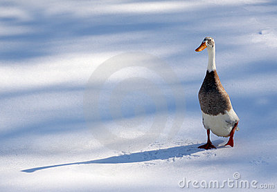 Cold Duck