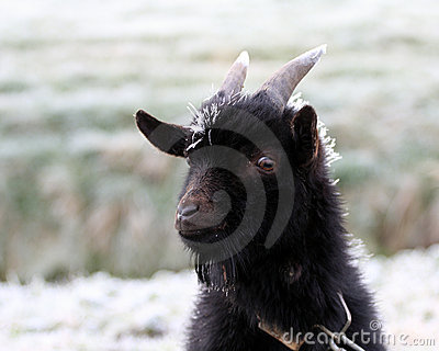 Cold goat