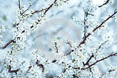 Cold Sakura