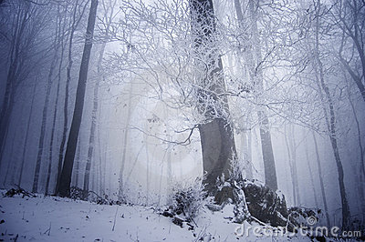 Cold winter day in a frosty forest near a large tr
