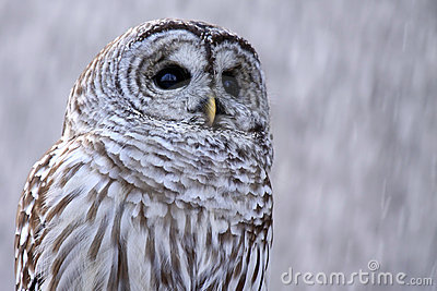 Cold Winter Owl