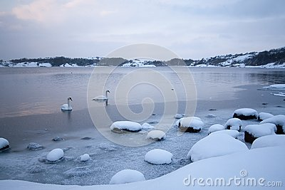 Cold Winter Swans