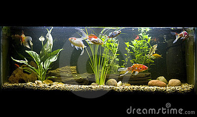 Cold Water Fish on Coldwater Fish Tank Stock Photo   Image  17229920