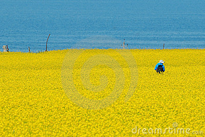 Cole kwitnie morza