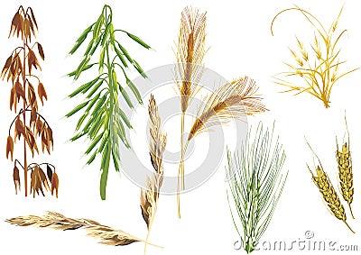 Colección de los cereales del color aislada en blanco