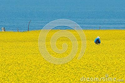 Colen blommar hav