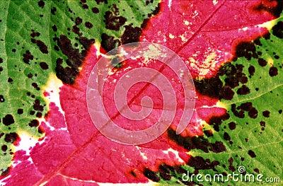 Coleus leaf closeup