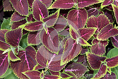 Coleus or Painted Nettle