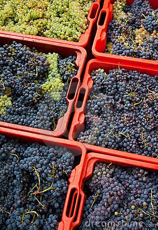 Colheita 09 da uva
