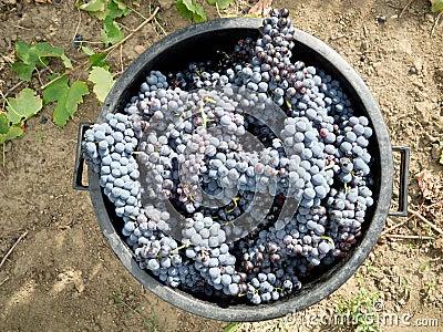 Colheita da uva
