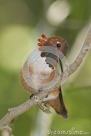 Colibrì Rufous - rufus di Selasphorus