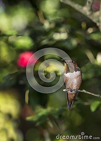 Colibrì Rufous (rufus di Selasphorus)