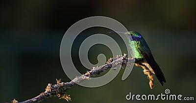 colibri Impetuoso-throated - insignis de Panterpe e Violeta-orelha verde - thalassinus de Colibri em um ramo em Costa Rica video estoque