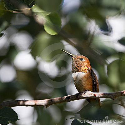 Colibri Rufous, rufus de Selasphorus