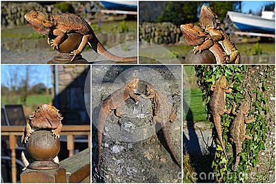 Collage Bearded Dragon