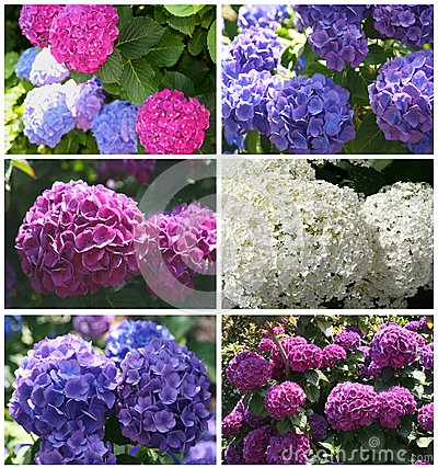 Collage of blooming hortensias in the summer