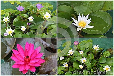 Collage of blooming Lotus flowers, Asia