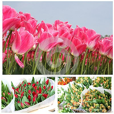 Collage of blooming tulips for Mothers Day and celebrations, Holland