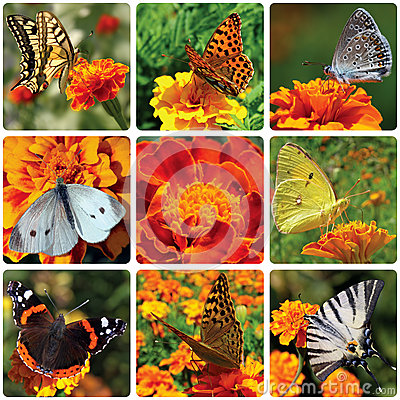 Butterflies sitting on marigold