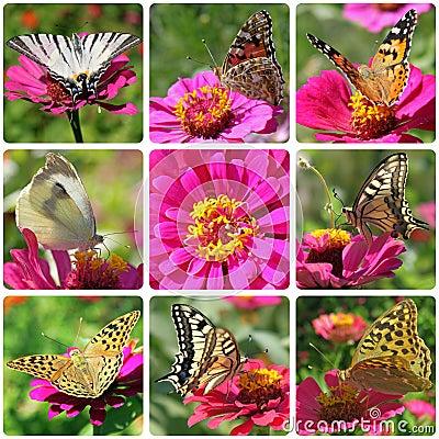 Butterflies sitting on zinnia