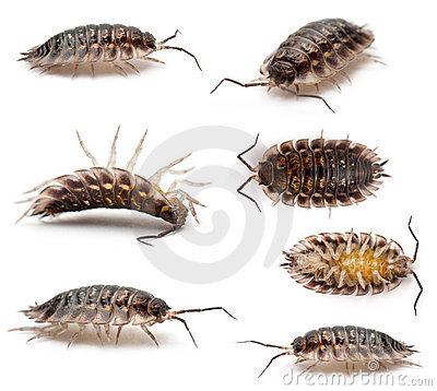 Collage of Common woodlouse, Oniscus asellus