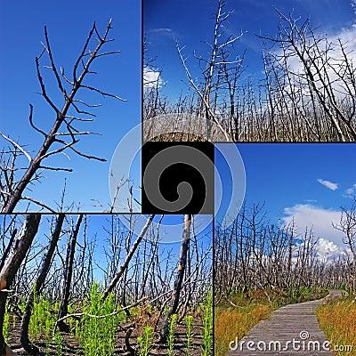 Collage de árboles quemados
