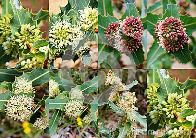 Collage of the decorative banksias of Crooked Brook nature reserve Dardanup western Australia in spring.
