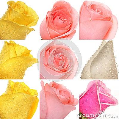 Collage der Rosen von den Fotos