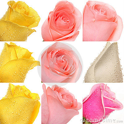 Collage des roses des photos