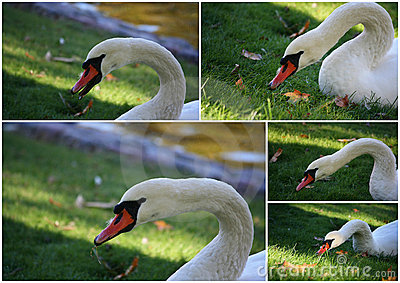 Collage of Mute swan