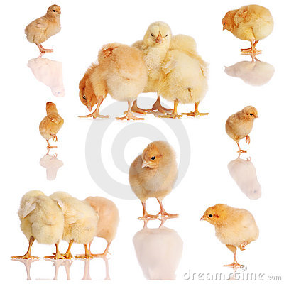 Collage of yellow chicks