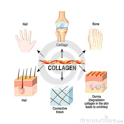 Free Collagen Is The Main Structural Protein In The: Connective Tissu Stock Photos - 116710923