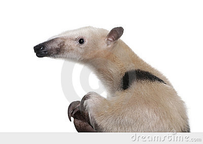 Collared Anteater going out from behind a grey bla