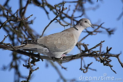 Collared dove on the branch