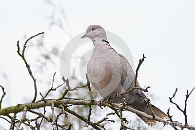 Collared dove in early spring