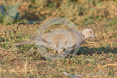 Collared dove on the ground / Streptopelia decaoct