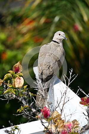 Collared Dove (Streptopelia turtur)