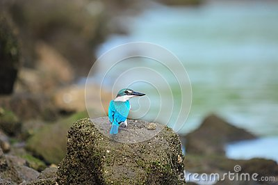 Collared Kingfisher Staring