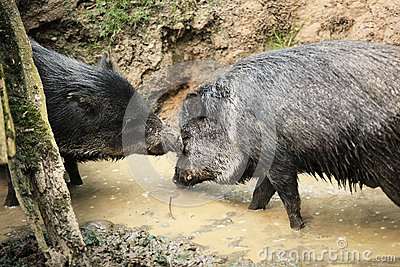 Collared peccaries known as wild pigs in mud