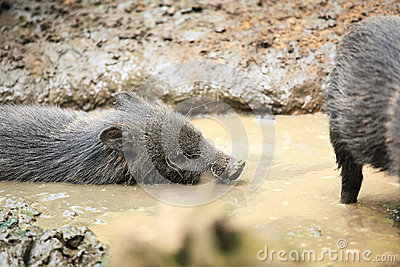 Collared peccaries known as wild pigs swimming in muddy splash