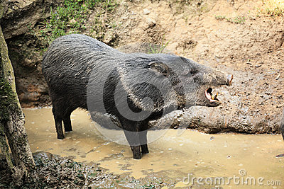 Collared peccary known as wild pig in the mud roars