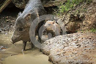 Collared peccary known as wild pig with a wild pig cub in mud