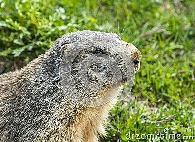Colle dell Agnello: groundhog closeup