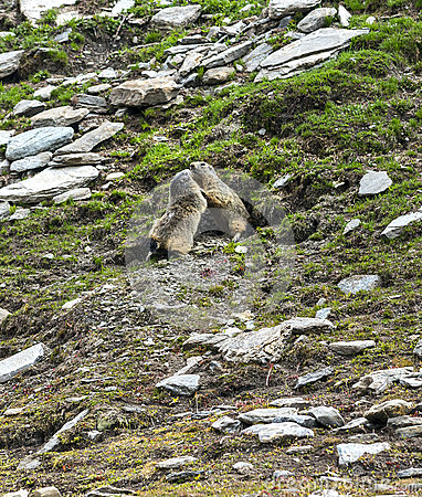 Colle dell Agnello: two groundhogs playing